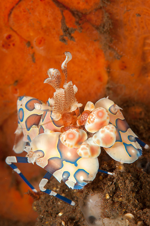 Harlequin shrimp: Hymenocera elegans, with bright red sponge in the background, Tulamben, Bali