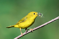 yellow warbler or American yellow warbler, Setophaga petechia, perched with a bill full of insects, summer, Nova Scotia, Canada