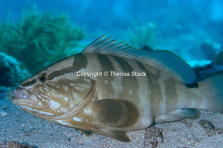 Nassau Grouper, Protected species, Florida Keys National Marine Sanctuary