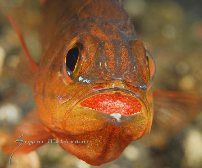 Cardinalfish with Eggs , Lembeh Straits, Sulawesi Sea, Indonesia, Amazing Underwater Photography