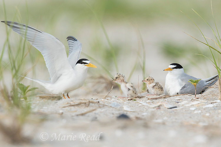 Least Terns (Sterna antillarum) adults with two chicks at nest, adult with raised wings has just fed chick, Nickerson Beach, Long Island, New York, USA