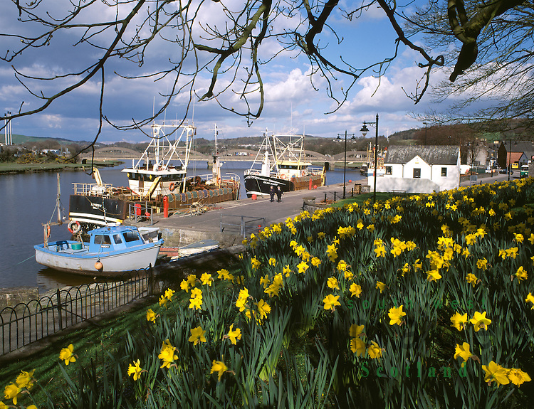 Spring daffodils at Kirkcudbright Harbour on the River Dee Dumfries and Galloway Scotland UK