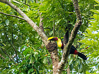 Black-mandibled Toucan, Ramphastos ambiguus, also known as Chestnut-mandibled Toucan, perched in a tree in Tortuguero National Park, Costa Rica. Listed as Near-Threatened in the IUCN Red List of Threatened Species.