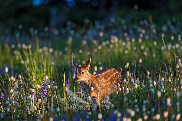 Columbian black-tailed deer (Odocoileus hemionus columbianus) fawn walking through subalpine meadow covered with wildflowers.  Early morning, Pacific Northwest.  Summer.