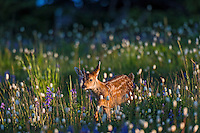 Columbian black-tailed deer (Odocoileus hemionus columbianus) fawn walking through subalpine meadow covered with wildflowers.  Early morning, Pacific Northwest.  Summer.