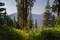 A view across a large valley, with two giant sequoias, Sequoiadendron giganteum, framing the veiw.  Lupines and Indian Paintbrushes frame the view.