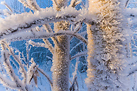 Hoar frost ice crystals on the branches of a Quaking aspen tree, Fairbanks, Alaska. Formed when water vapor evaporates from a liquid water source and deposits on the object in the form of ice.