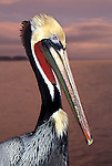 FB-M54   Brown Pelican at sunset.   Photo Magnet