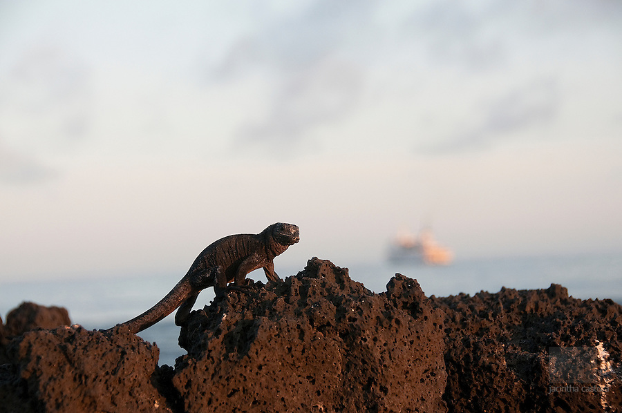 this baby iguana climbed the lavarocks on the station beach at Puerto Ayora Galapagos. In the background a vessel is visible.