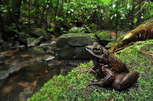 Grandidier's Stream Frog (Mantidactylus grandidieri), adult at stream, Masoala National Park, Madagascar