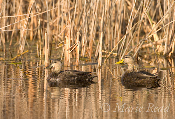 American Black Ducks (Anas rubripes), pair (female L, male R), Montezuma National Wildlife Refuge, New York, USA