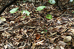 The copperhead snake is commonly found in hardwood forests,where it is a master of disguise.
