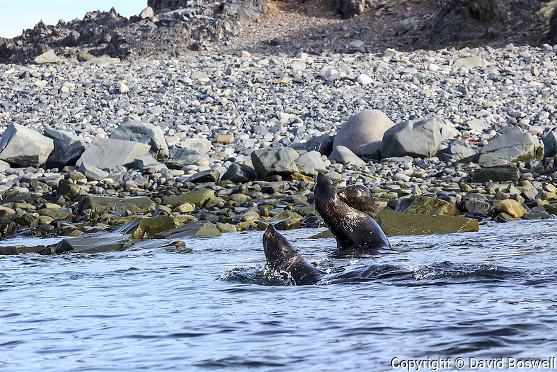 Antarctic fur seals fighting in the shallow water on the shore of Half Moon Island, located in the South Shetland Islands near the Anatarctic Peninsula.