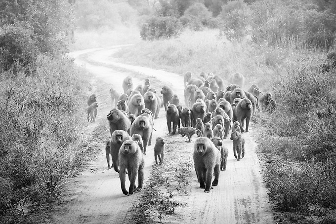 A family of baboons strolling in the late afternoon in Tarangire National Park, Tanzania.