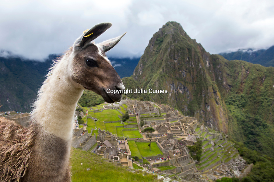 A llama is photographed at the ancient site of Machu Pichu in Cusco, Peru.