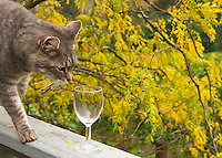 Curious cat sniffing wine glass with Fall colors in leaves of trees in the Willamette Valley, Oregon