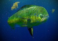 A bull mahi-mahi patrols the weed line.
