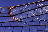 Flügel einer Libelle, Flügelgeäder, Flügeladerung, Knotenpunkt, Nodus, Blaugrüne Mosaikjungfer, Blaugrüne-Mosaikjungfer, Aeshna cyanea, Aeschna cyanea, blue-green darner, southern aeshna, southern hawker