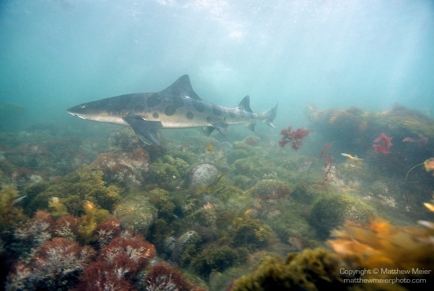 San Clemente Island, Channel Islands, California; Leopard Shark (Triakis semifasciata), Eastern Pacific Ocean, found from Oregon to Mazatlan, Mexico and Gulf of Mexico, bird cage dive site , Copyright © Matthew Meier, matthewmeierphoto.com All Rights Reserved