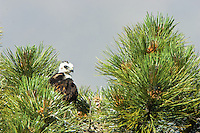 Short-tailed Hawk (Buteo brachyurus) nestling, in nest; Arizona, (Nesting Record)