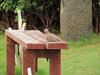 Cute Dove sitting on wooden bench.