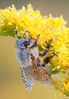 Dew covered Honey Bee; Apis melifera; on goldenrod; Solidago; Hymenoptera; insect;