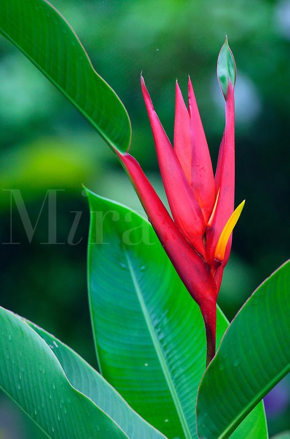 Flowering plants (heliconias) Costa Rica