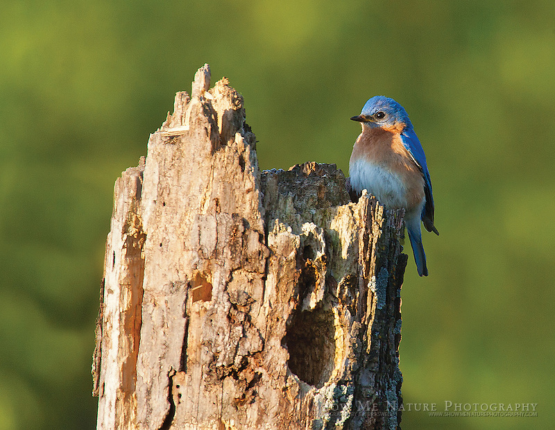 "Boxed set of 10 Eastern Bluebird note cards (folded, blank inside), 10 cards of the pictured image, and 10 blank, white envelopes. To purchase, click on image until a ""Buy Prints"" button appears above the image."