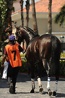 HALLANDALE BEACH, FL - APRIL 01: Delta Prince, trained by Dale Romans, heads in to the saddling paddock for the 66th running of the Appleton Grade III Stakes on Florida Derby Day at Gulfstream Park on April 01, 2017 in Hallandale Beach, Florida. (Photo by Carson Dennis/Eclipse Sportswire/Getty Images)