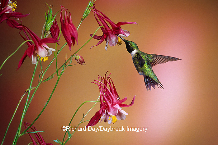 01162-071.11 Ruby-throated Hummingbird (Archilochus colubris) male on Crimson Star Columbine (Aquilegia x hybrida) IL