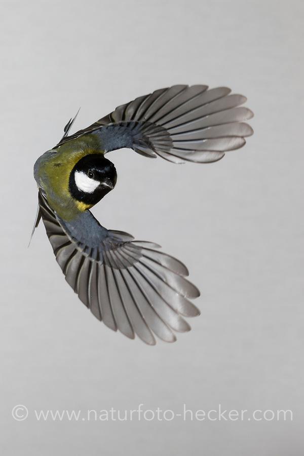 Kohlmeise, Flug, Flugbild, fliegend, Kohl-Meise, Meise, Meisen, Parus major, Great tit, flight, flying, La Mésange charbonnière
