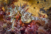 Shorthead Seahorse, Hippocampus breviceps, endemic, Edithburg, South Australia, Southern Ocean