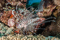 The beautiful and poisonous lion fish. (Photo by Wildlife Photographer Matt Considine)