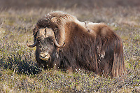 Bull muskox with shedding qiviut (fur) stands broadside on the summer tundra on Alaska's arctic north slope.