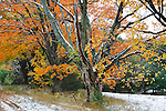 Trees In Autumn Regalia During A Light Snowfall At Traverse City Michigan, USA