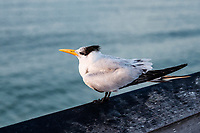 Royal Tern resting on pier railing.
