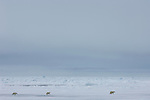 Three Polar Bears crossing the sea ice near Svalbard.