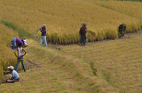 Farmers working on a paddy field at Wangdue. Arindam Mukherjee..