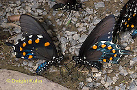 LE02-505z Pipevine Swallowtail collecting salts from the ground, Blue Swallowtail,  Battus philenor