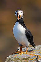Atlantic Puffin (Fratercula arctica) adult in breeding plumage, July. These North Atlantic seabirds come to land every year for about 4 months to burrow and raise their young on grassy cliffs and offshore islands, here along the eastern coast of Newfoundland, Canada.
