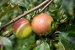 Dew damped apples