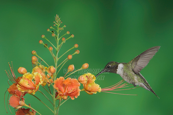 Ruby-throated Hummingbird, Archilochus colubris, male in flight feeding on Red Bird Of Paradise (Caesalpinia pulcherrima), Willacy County, Rio Grande Valley, Texas, USA, May 2006