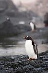 Gentoo Penguin (Pygoscelis papua), Gourdin Island, Antarctica