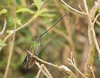 Sword-billed hummingbird, Ensifera ensifera. Yanacocha Reserve, Ecuador