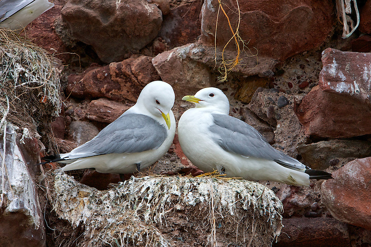 Black-legged kittiwake (Rissa tridactyla) in Courtship. They like most birds have a courtship ritual. Although not always elaborate especially if you are not paying attention. These two are going through the motions at the intended nest site. Of real interst to me in this image is the differnce in beak/bill colour. Mature birds should have a yellowish bill.
