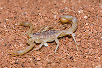 Stripetail Scorpion, Vaejovis spinigerus