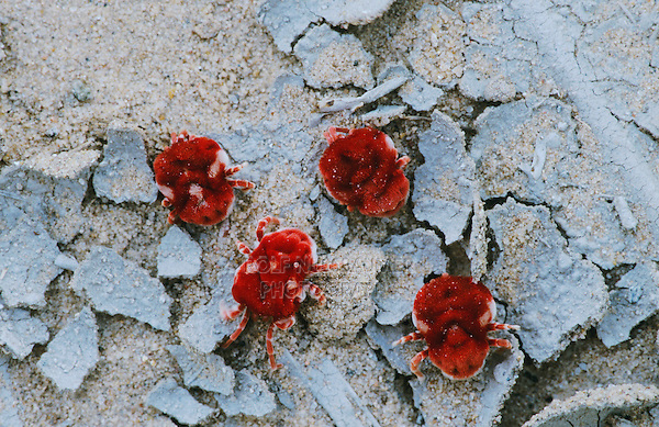 Velvet Mite, Trombidiidae sp., adults on ground after rain, Starr County, Rio Grande Valley, Texas, USA