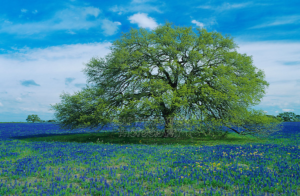 Live Oak tree and Texas Bluebonnet, Lupinus texensis, Natalia, Medina County,Texas, USA
