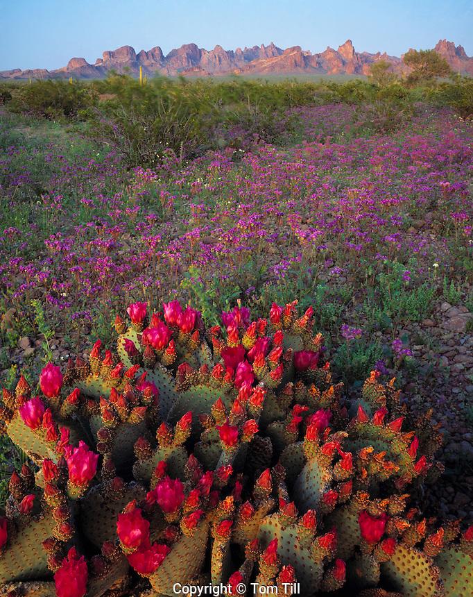 Beavertail Cactus & Kofa Mountain Escarpment, Kofa National Wildlife Refuge, Arizona   Opuntia sp.