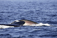 Ventral view oif Fin Whales Balaenoptera physalus Pair lunge feeding on Krill Thysanoessa inermis showing inside of lower jaw and baleen Spitsbergen Arctic Norway North Atlantic